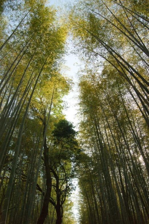 Bamboo Grooves Arashiyama