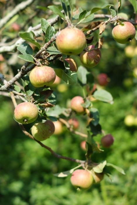 Wisata Petik Apel
