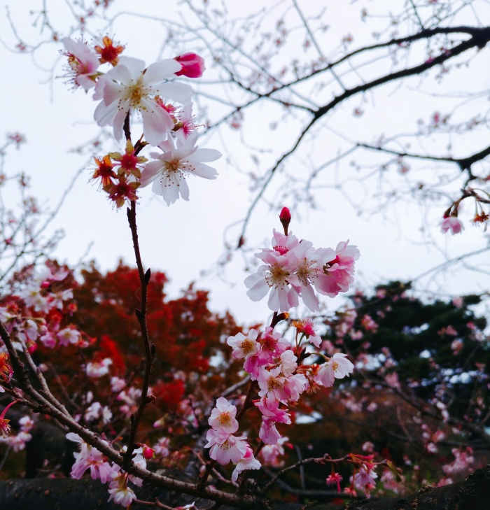 Sakura - Shinjuku Gyoen