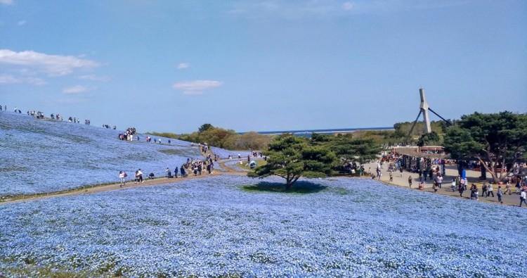 Nemophila- Hitachi Seaside Park