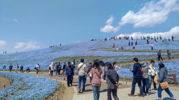 Nemophila - Hitachi Seaside Park
