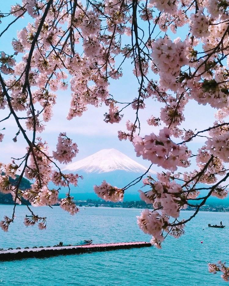 Cherry Blossom in Fuji